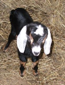 Candy, just a few days old. Goats have died in Texas and Pennsylvania due to fracking chemicals in the air (Texas) and water (Pennsylvania).